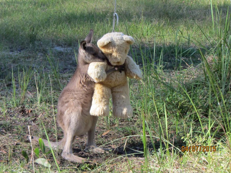 Teddy Land: Baby wallaby with a Teddy Bear