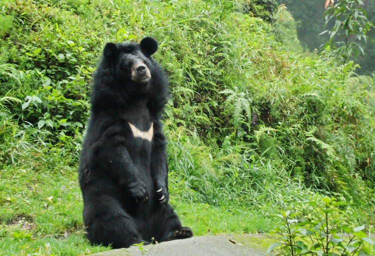 Teddy Land: Himalayan Bear