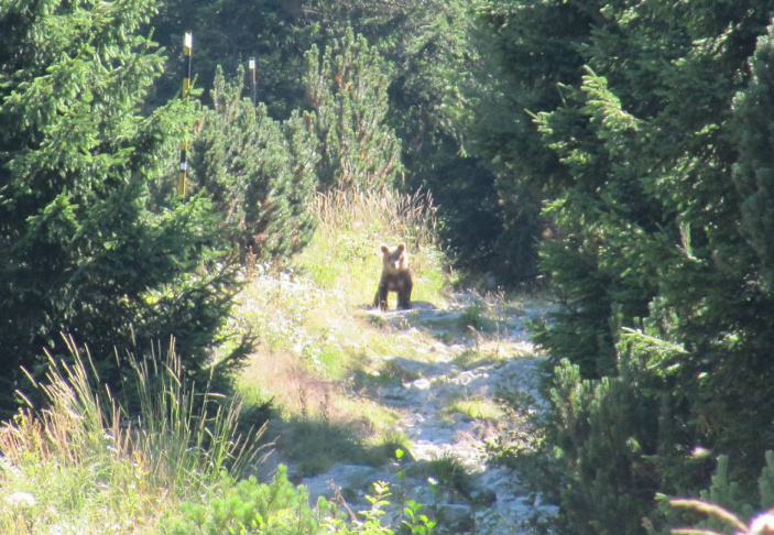 Teddy Land: Cub on the trail to Zavrachitza hut