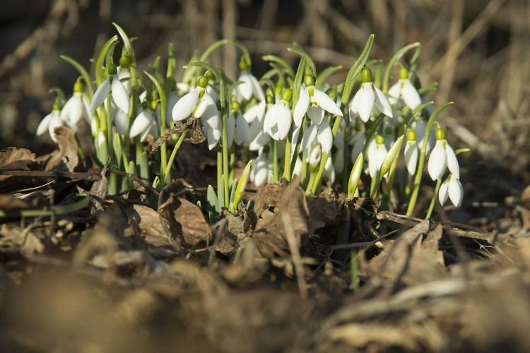 Teddy Land: Snowdrops by Anton Donchev