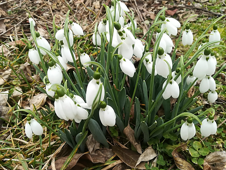 Teddy Land: Snowdrops in February