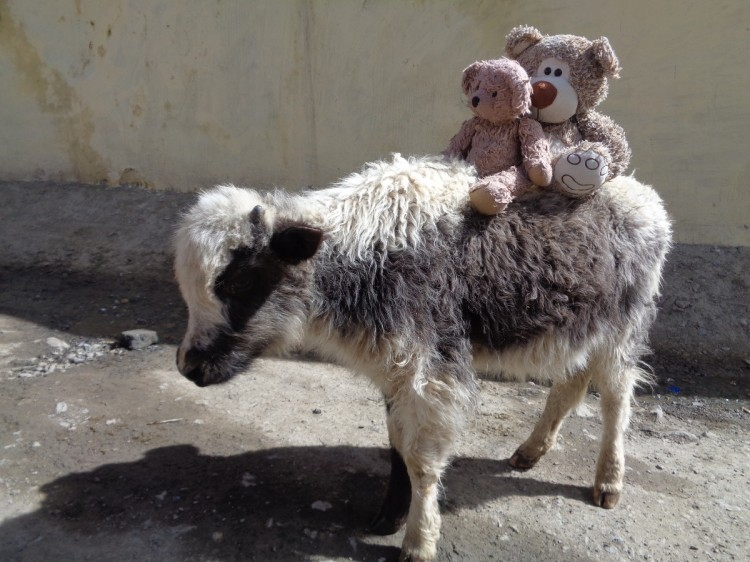 Teddy Land: Tibet, Land of the yaks