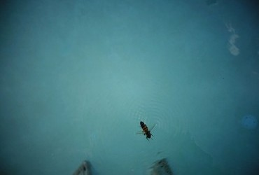 The inebriated bee cooling in the pool - Las Vegas, Nevada