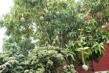 This is how mangoes hang from trees.