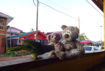 Parrot Toda did some affectionate grooming on Teddy Little Bear - Mahdia, Guyana