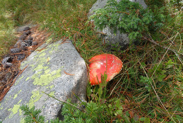 Flyagaric on the way to Yaliovarnika, Pirin