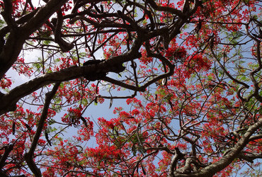 Flamboyant tree - Scarborough, Tobago