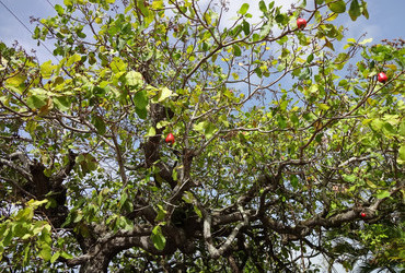 Cashew tree - Scarborough, Tobago