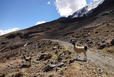 First encounter with llamas, Cordillera Real, Bolivia