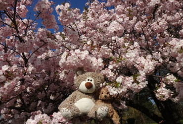 Hanami - brought to you by Bloomingbears