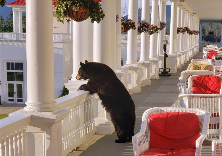 Teddy Land: Black bear in New Hampshire hotel